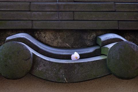 咲いたばっかりなのに,もう散り始めるのが桜。桜見物はお早めに~(^^)
