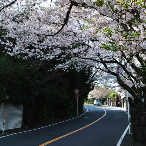 鎌倉山は桜のトンネルが続きます。