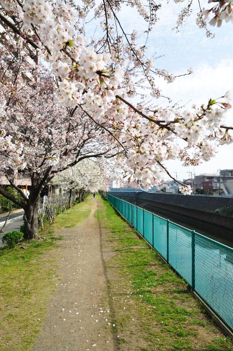 ほんの100mほどだけど,満開の桜の下をのんびり歩けます。