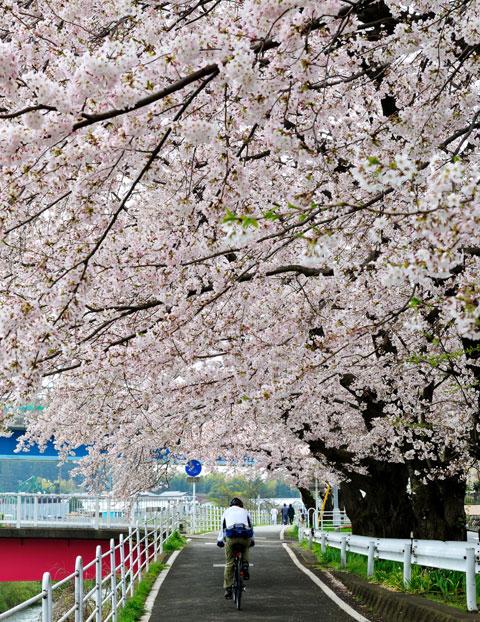 桜の下を,ゆっくりと通り抜ける自転車の方。この季節はフラットバーが良いのかもしれません(^^)