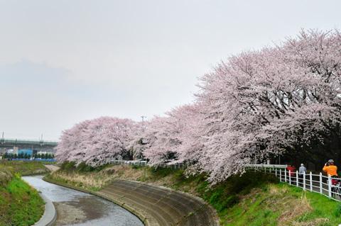 おぉ~,見事な桜です! CRのフェンスが桜の真下を通っています。