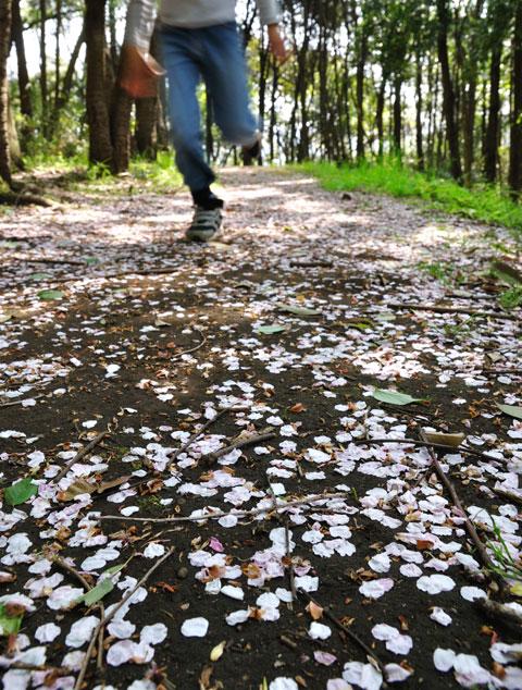 ご近所の里山(田舎なんです)で散ったサクラを撮る。チビに邪魔される。