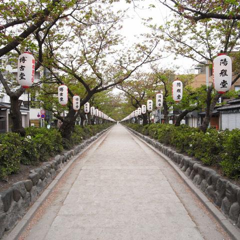 八幡宮側から見た段葛。満開から一週間で,すっかり葉桜になりました。