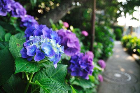 日当たりが悪いところだと,まだ濃い青のアジサイが咲いています。