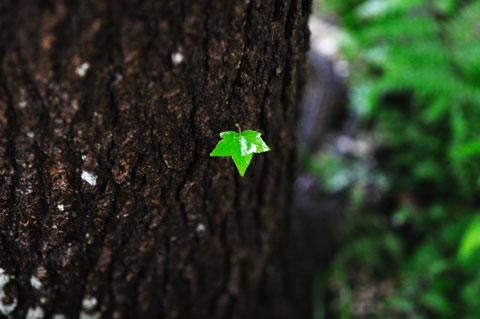 幹から直接生える新しい葉っぱ。小さくてかわいい♪