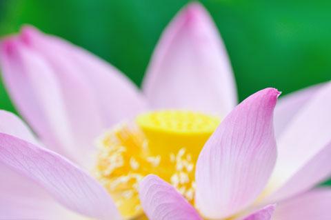 蓮は大きな花ですが,改めて見ると,その造形はとても流麗で美しいです(^^)