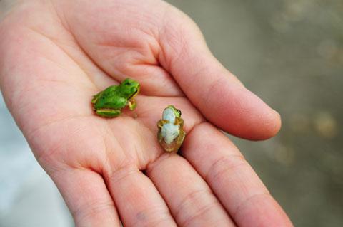 田んぼで見かけたカエル。死んだフリがかわいい!!!!