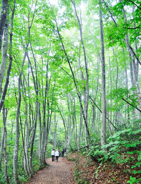 早朝のブナ林は気持ちよかった~。適度な湿り気のある冷たい空気が漂います。