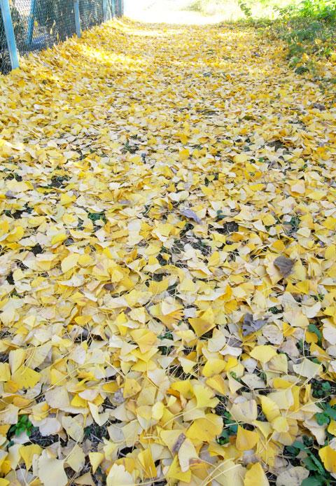 すご~い量のイチョウの落ち葉。もう,秋も終わりですなぁ・・・。