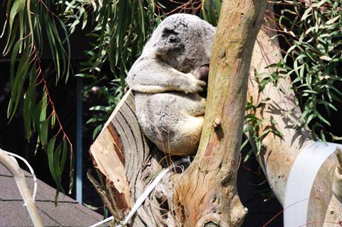 眠りこける,ぬいぐ,いや,コアラ。 私はコアラになりたい・・・。