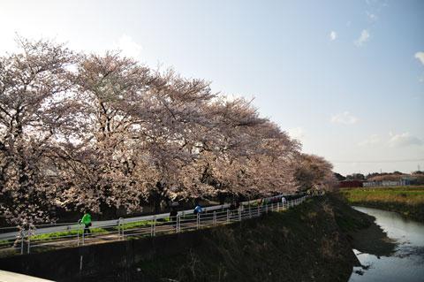それにしても,見事な桜トンネルです。