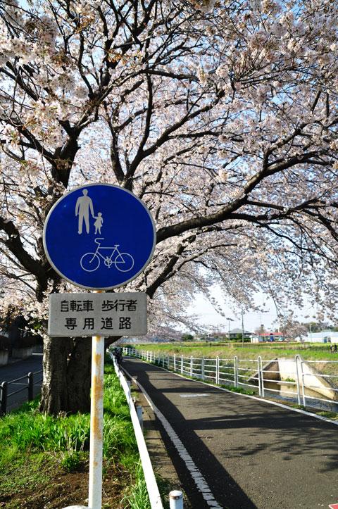 普段はパッとしない境川CRも,桜シーズンだけは最高です(^^) シアワセ~