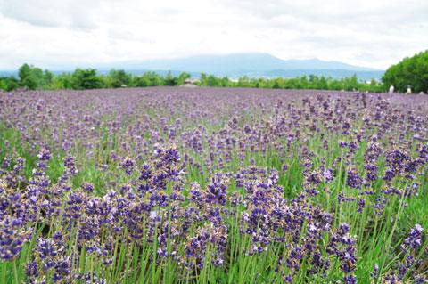 見頃を一週間ほど過ぎてしまっている,ファーム富田のラベンダー畑。