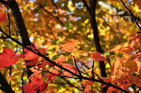 紅葉も,透過光で撮るといいのかも。