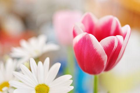 ツマの誕生日にあげたチューリップ。春は鼻,いや,花の季節です。
