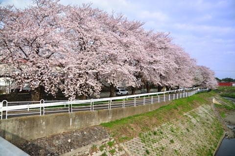 外側から見るとこんな感じ。見事な桜トンネルです。