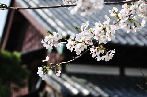 なんとか,付近の桜をパチリ。やっぱり,観光地はすごいですなぁ(^^)
