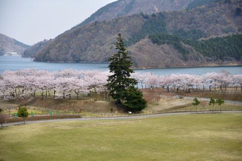 宮ヶ瀬湖経由で帰りました。桜がとてもキレイ(^^)