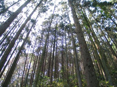 ザ・杉の木。だれがこんなにたくさん植えたんじゃ。ひょっとして,マスク会社とか製薬会社だったりして。なわけないか(^^)