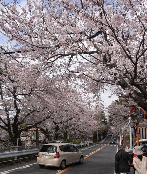 鎌倉山の「ボンジュール」前。立派な桜が咲き誇っています。