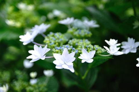 ガクアジサイは,不思議な花です。なんとなく,宇宙を連想させます。
