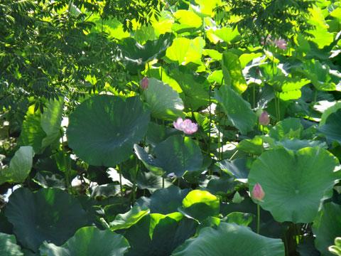 八幡宮ではハスが咲き始めていました。コンデジでは届かないなり・・・(涙)