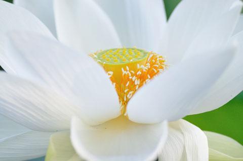 蓮の花はなんとも不思議な構造です。真ん中のがシャワーヘッドらしい。