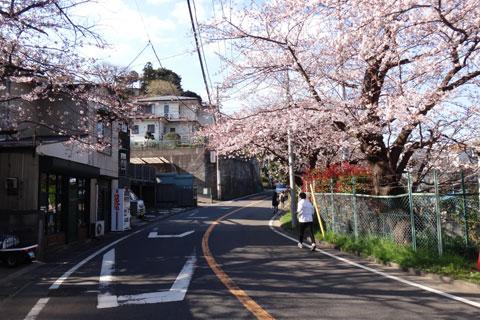 鎌倉山入口(モノレール側)。だいぶ見ごろになってきています。