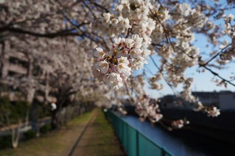 境川の下流,藤沢駅付近の桜並木。