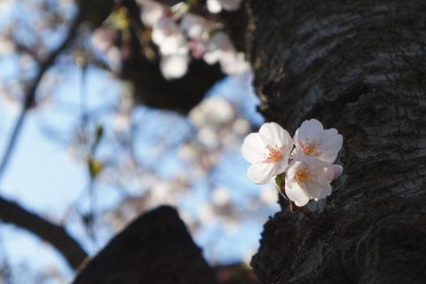 毎年ですが,桜は撮るのが難しい~ 【2012年桜アルバム一式はこちら!】