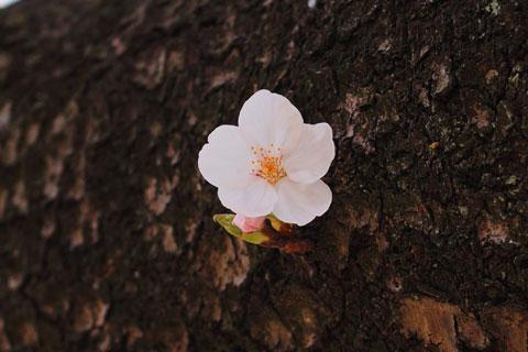 模範的な(?)桜を発見。きれいな5枚花びらだ(^^)