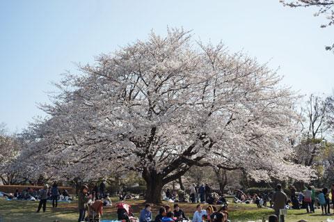 この~木,何の木,気になる木~(違う) 大場城跡公園の大きな桜。
