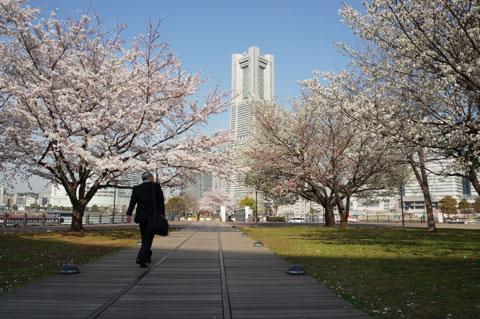 みなとみらいの汽車道は隠れた桜スポットです。 【フォトアルバムはこちら!】
