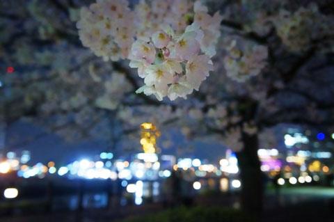基本的にライトアップされていないのですが,街灯に照らされている桜を発見。