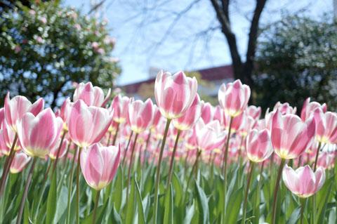 ものすごく元気よさそうに咲くチューリップ。さぁ,会社行くか・・・。(元気ないじゃん)