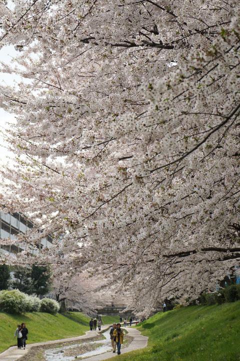 さくらは200本ほどですが,木が大きいので密度が濃いです!