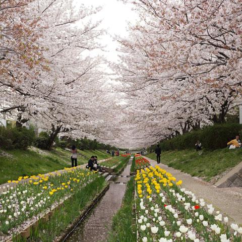 桜,チューリップ,小川。どう撮っていいやら・・・。 【フォトアルバムはこちら!】