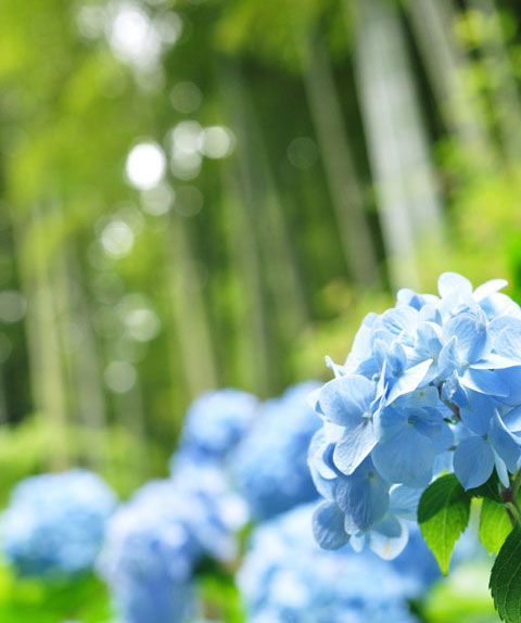 名月院のアジサイはみんなブルーです(^^)  【フォトアルバムはこちら!!】