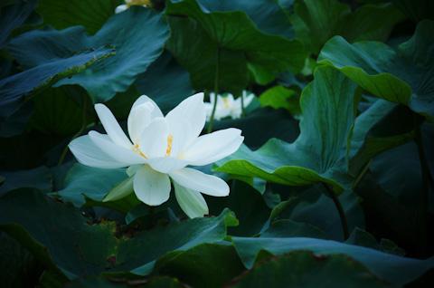 蓮の花はバカでかいけど,意外と繊細です。