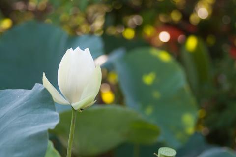 平家池はもともと「赤」らしいのですが,見た感じでは「白」蓮が多い気がします。
