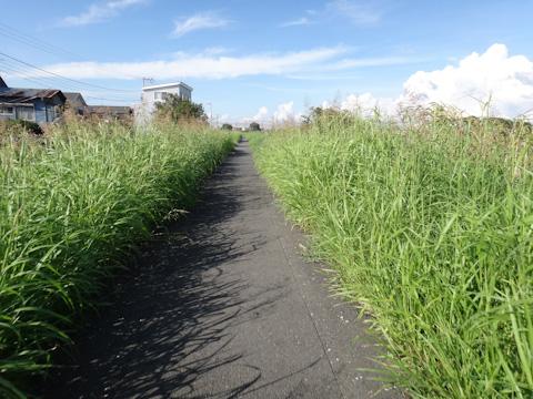 花水川に出たらサイクリングロードを走る。不安なくらい細いし,草だらけ・・。