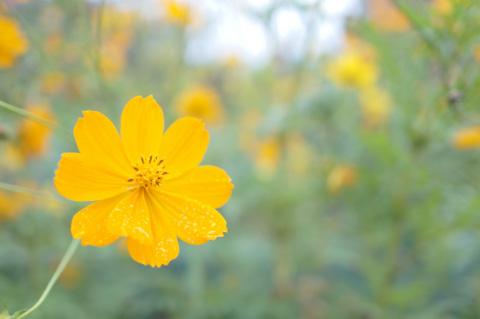 こちらは,大庭図書館の花壇に咲くコスモス。