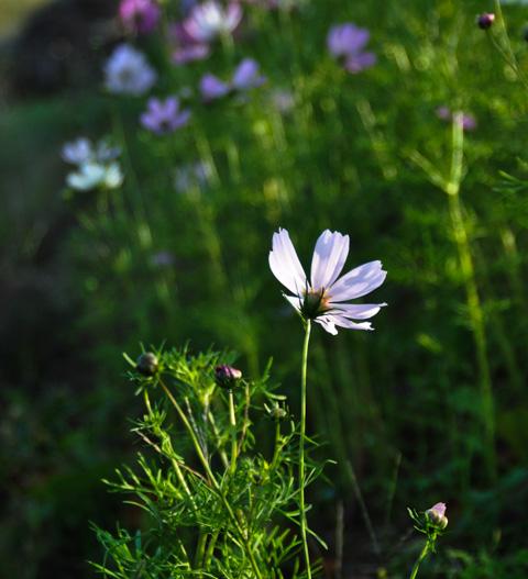 花は横や下から撮ったほうが綺麗ですが,ここは,みんな後姿になっちゃうのが難点・・・。