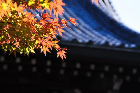 真っ赤なモミジ。寺社の屋根にあわせると映えます(^^)