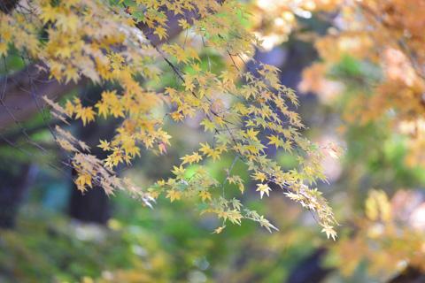 淡い黄色の紅葉も見られます。同色系でまとめると良い感じです。