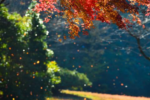 舞い落ちる紅葉が,ライトのように光ります。