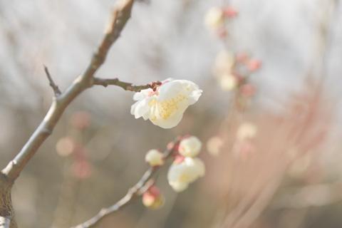 ほんのちょっとだけ咲いている梅をハイキーで。