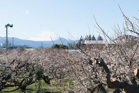 7部咲きくらいの感じでした。遠くに富士山が・・・。