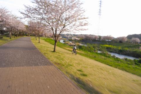これは去年の4月末。見ごろを終えた桜が散る中,次男坊疾走中(笑)