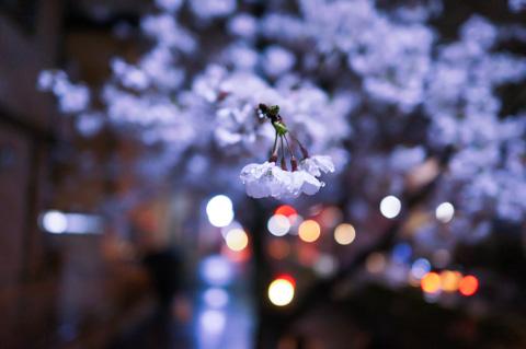 会社帰りの桜。雨が降っても,とりあえず毎日1枚は撮る!(^^)